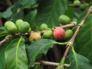 Coffee plant in fruit
