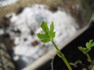 fig_spring2