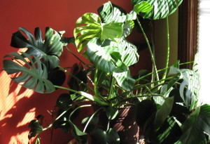 My Monstera deliciosa is tiny compared to the giant at the conservatory.