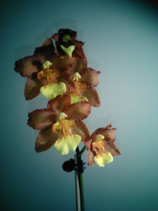 Unusually colored Oncidium flowers